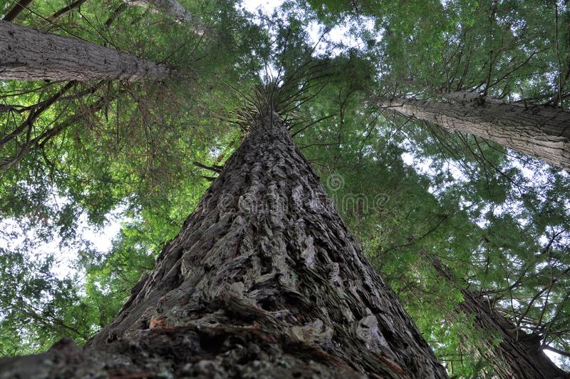 Alberi californiani della sequoia, il Distretto di Rotorua, Nuova Zelanda fotografia stock