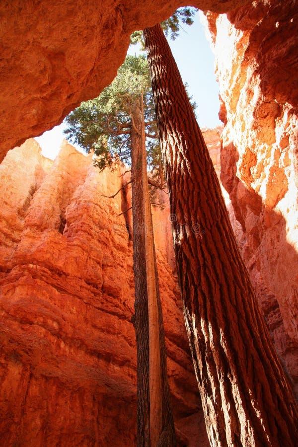 Alberi in canyon stretto immagine stock