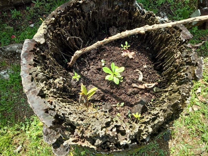 Alberi che stanno essendo /reforestation piantato sugli alberi nocivi immagine stock libera da diritti