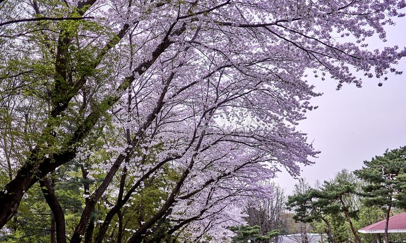 Alberi che visualizzano miscela dei fiori verdi e rosa del fiore di ciliegia che fioriscono in primavera fotografia stock