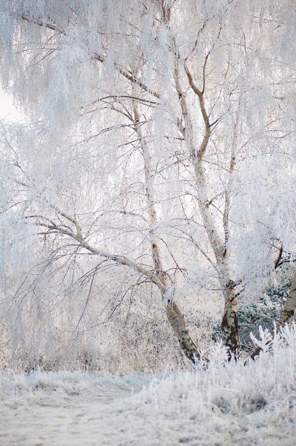 Alberi con gelo di inverno fotografie stock libere da diritti