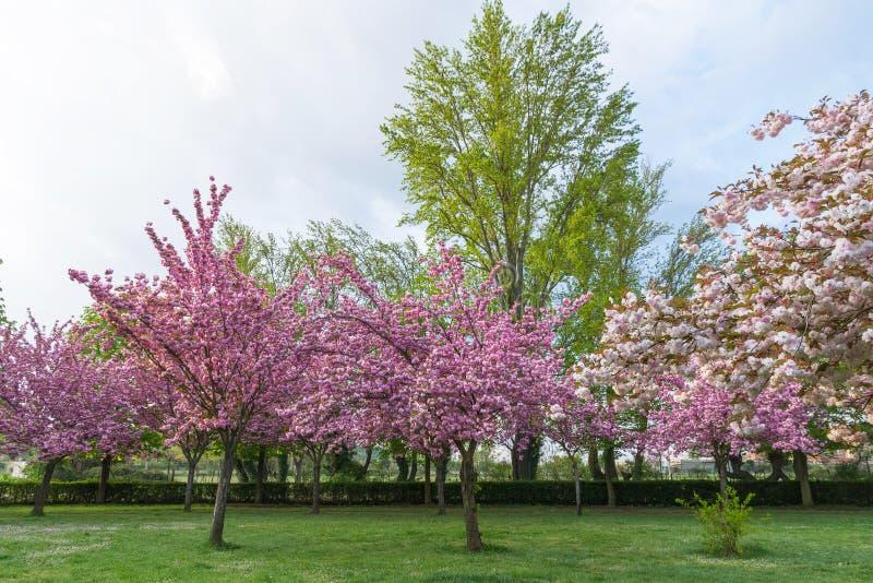 alberi con i fiori rosa in primavera immagine stock