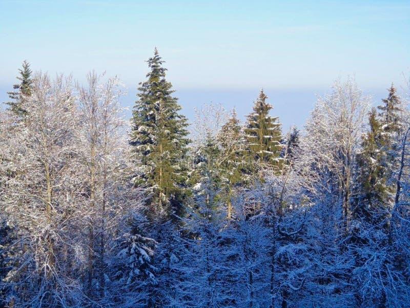 alberi con neve negli orari invernali fotografia stock
