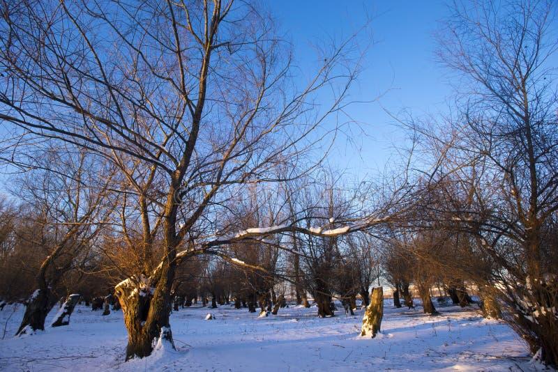 Alberi coperti di gelo in inverno immagine stock libera da diritti