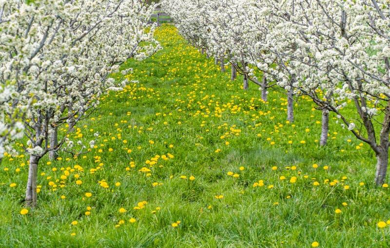 Alberi da frutto giovani di fioritura splendidi in un frutteto con i fiori gialli su un prato verde fotografie stock libere da diritti