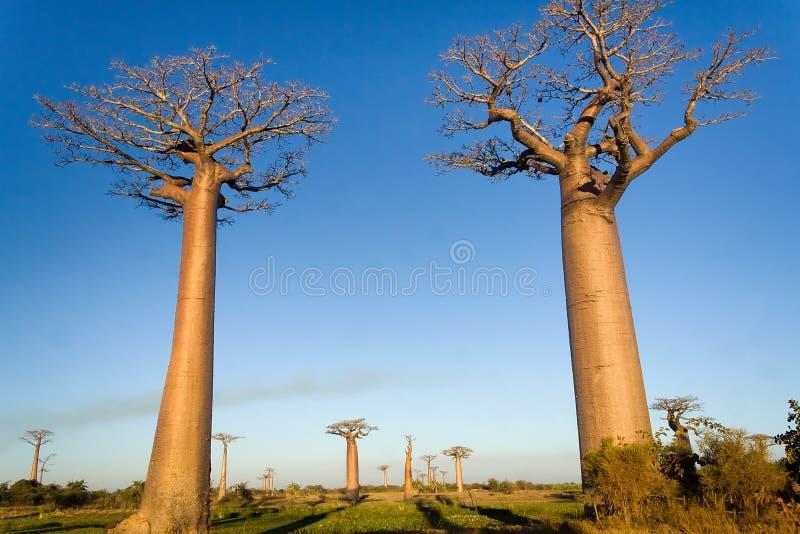 Alberi del baobab immagine stock