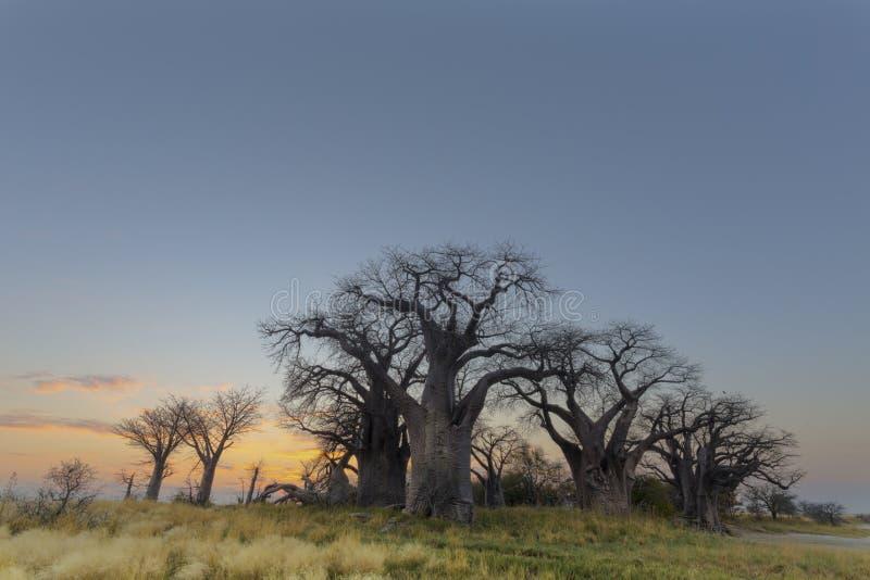 Alberi del baobab di Baines immagine stock