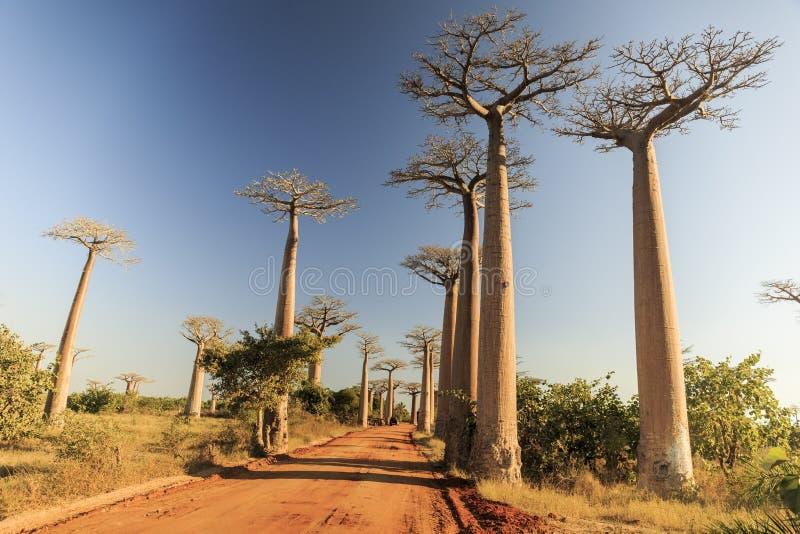 Alberi del baobab lungo la strada rurale al giorno soleggiato fotografie stock libere da diritti