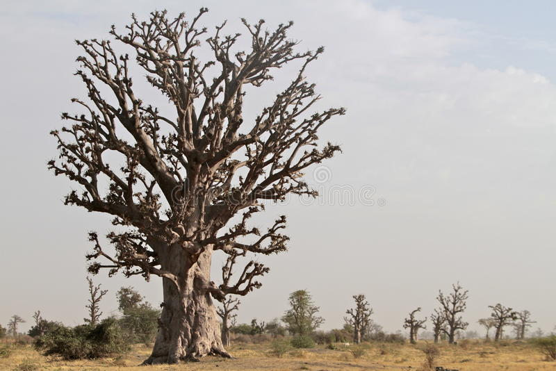 Alberi del baobab nel Senegal immagine stock libera da diritti