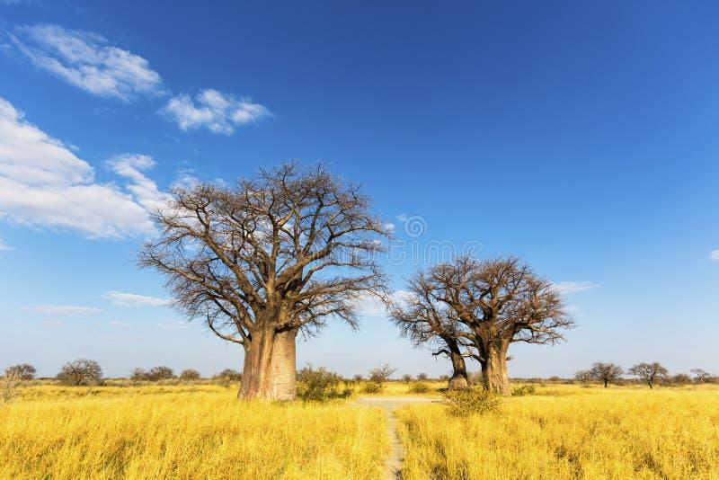 Alberi del baobab nell'inverno immagini stock libere da diritti