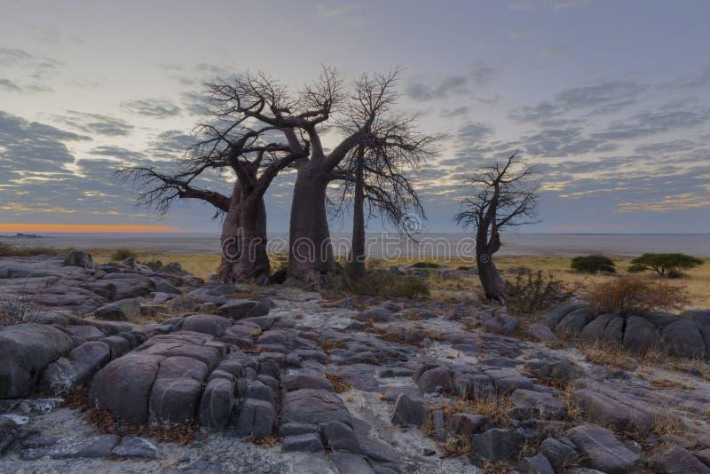 Alberi del baobab prima di alba fotografia stock libera da diritti