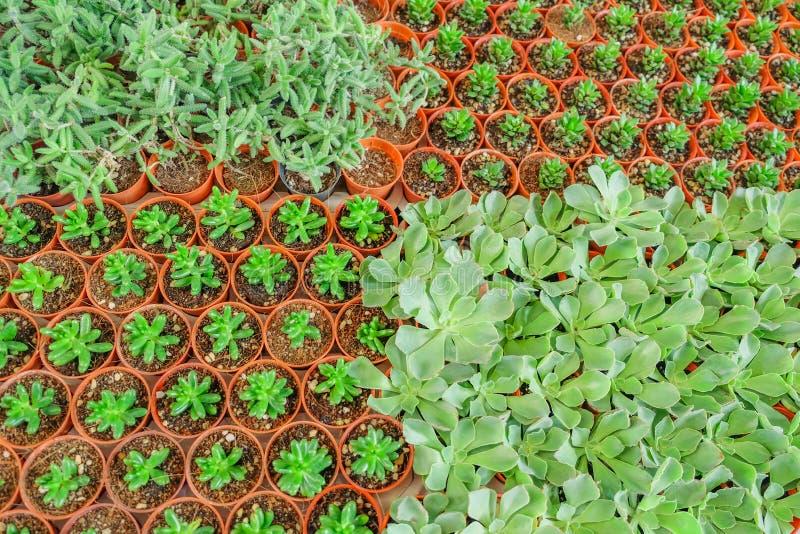Alberi del cactus immagini stock libere da diritti