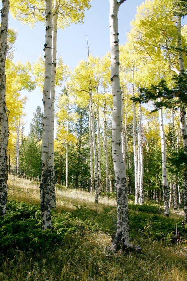 Alberi del Colorado Aspen fotografia stock libera da diritti