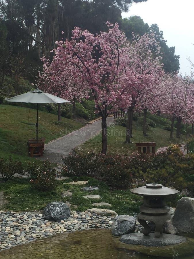 alberi del fiore di ciliegia accanto ad una corrente fotografia stock