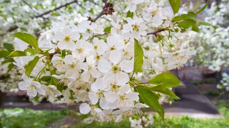 Alberi del fiore di ciliegia in giardino europeo, prunus cerasus, macro fondo di struttura dei fiori teneri bianchi in primavera fotografia stock