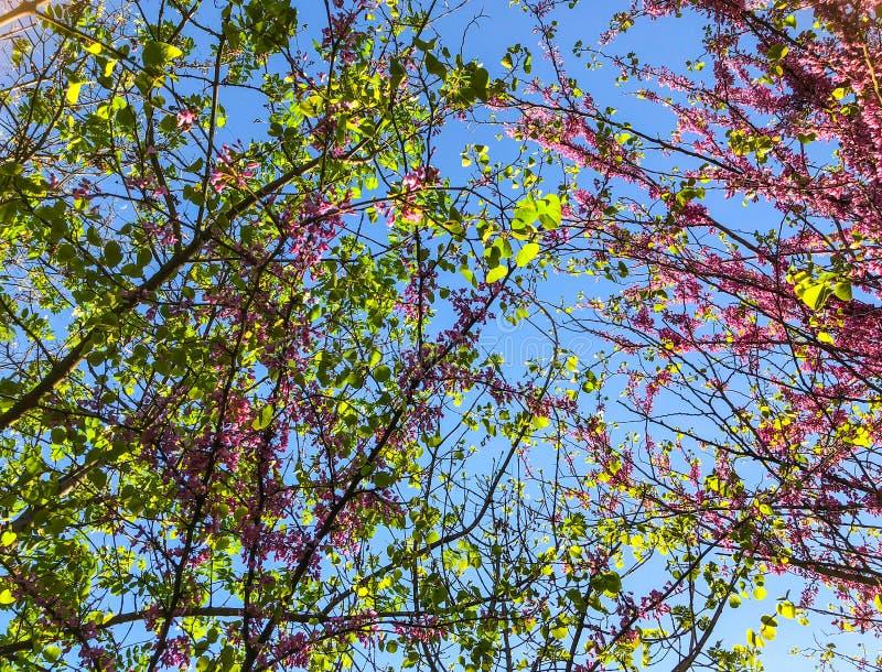 Alberi del fiore nel parco della città in primavera Scena della natura con il sole nel giorno soleggiato fotografia stock
