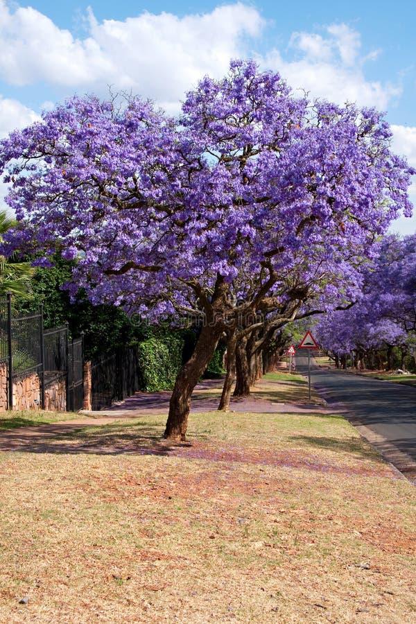Alberi del Jacaranda fotografia stock libera da diritti
