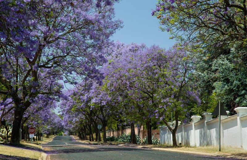 Alberi del Jacaranda che fioriscono nelle vie di Johannesburg fotografia stock