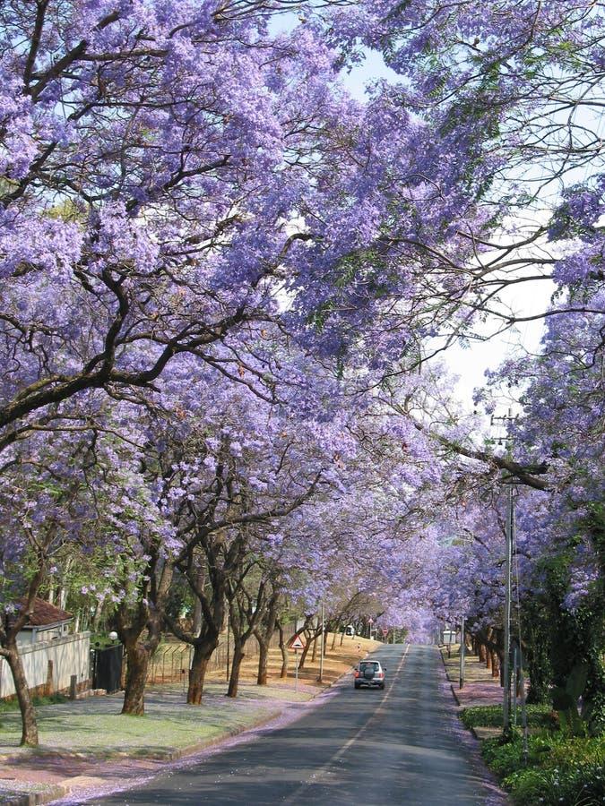 Alberi del Jacaranda lungo la strada a Pretoria, Sudafrica immagini stock libere da diritti