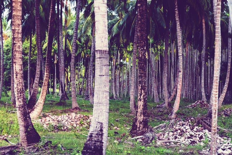 alberi del paln della data fotografie stock libere da diritti