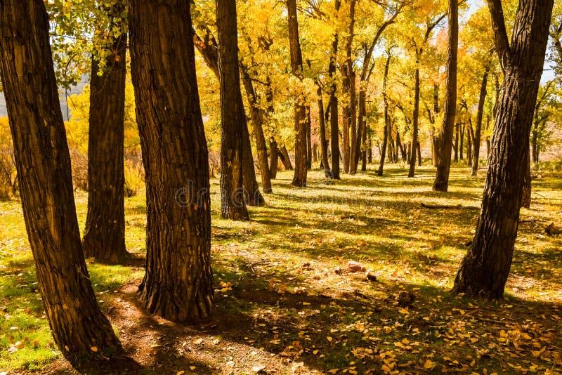 Alberi del pioppo in autunno fotografia stock