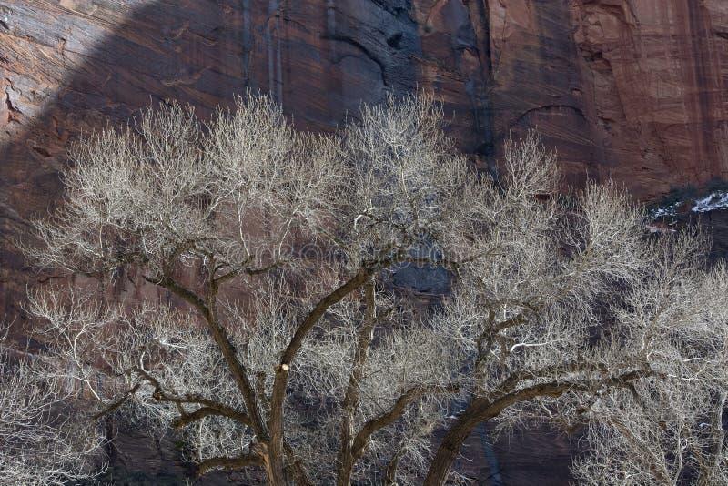 Alberi del pioppo nell'inverno con la cascata e le scogliere di Redrock fotografia stock