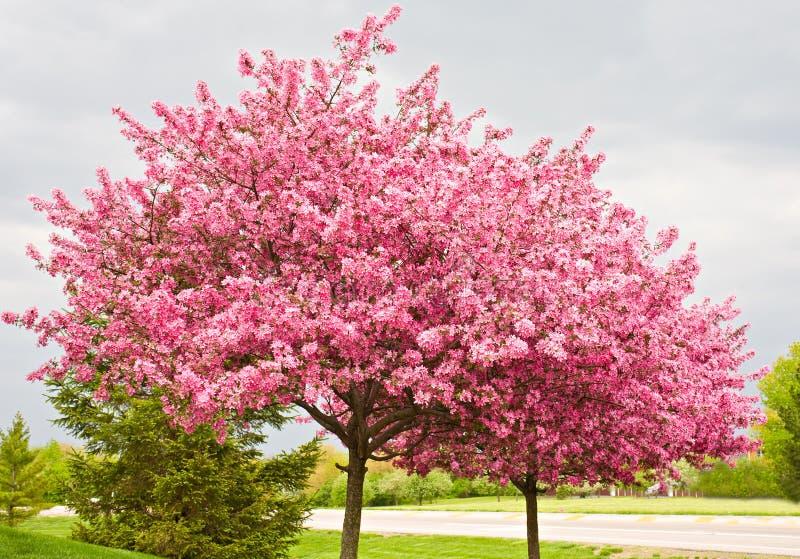 alberi del redbud fotografia stock libera da diritti