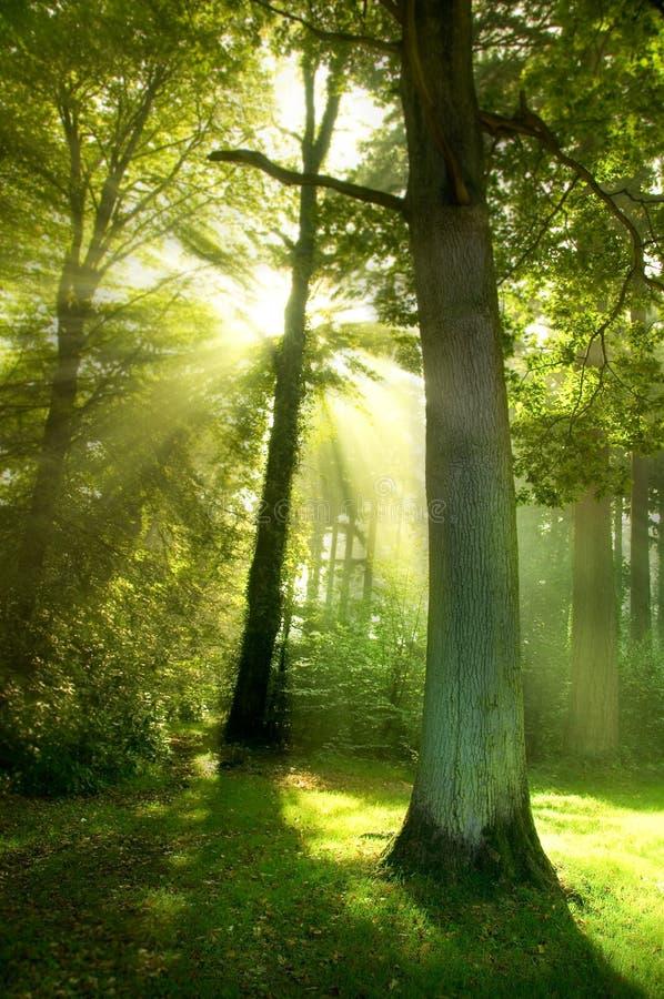 alberi del sole dei fasci fotografia stock libera da diritti
