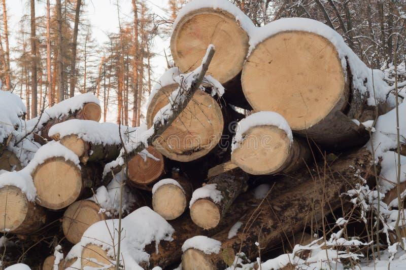 Alberi del ut del ¡ di Ð i vecchi si chiudono su Front View Collega la foresta dell'inverno fotografia stock libera da diritti