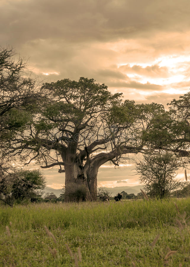 Alberi dell'acacia in Tanzania fotografia stock libera da diritti