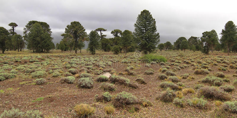 Alberi dell'araucaria (araucaria araucana) nel parco nazionale di Lanin fotografia stock libera da diritti