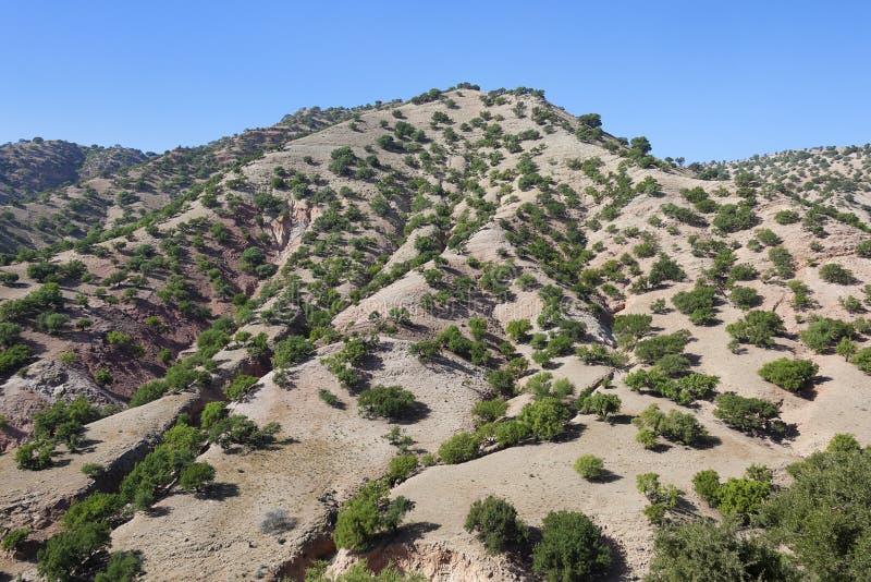 Alberi dell'argania spinosa (argania spinosa) su una collina. fotografia stock