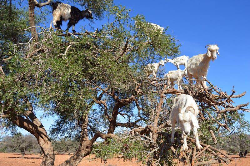 Alberi dell'argania spinosa e le capre sul modo fra Marrakesh e Essaouira nel Marocco fotografia stock