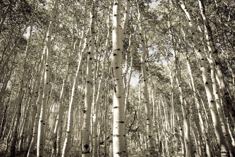 Alberi dell'Aspen immagine stock