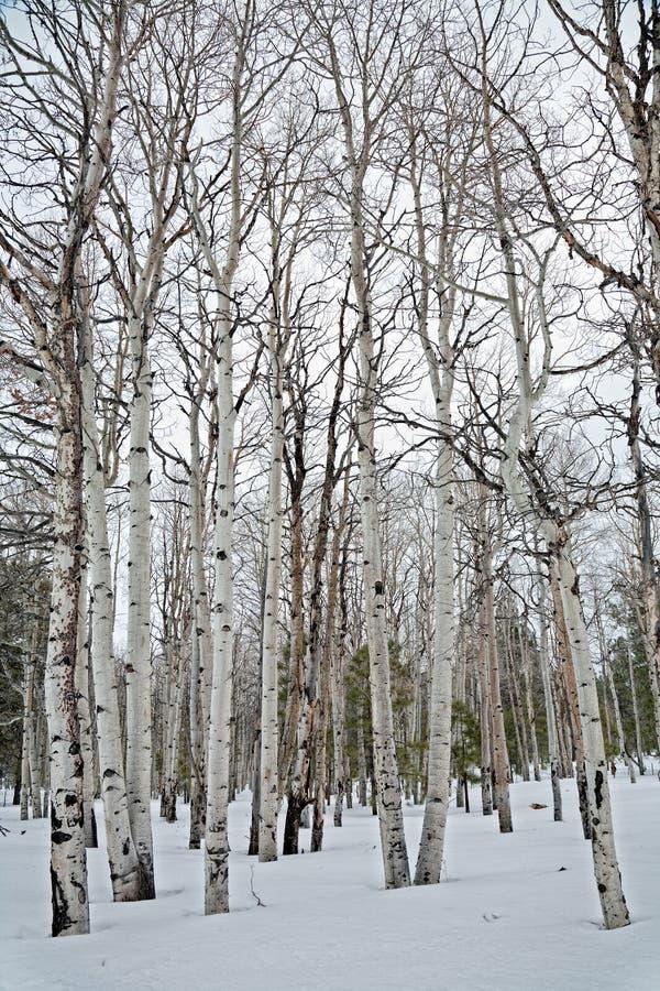 Alberi dell'Aspen fotografie stock libere da diritti