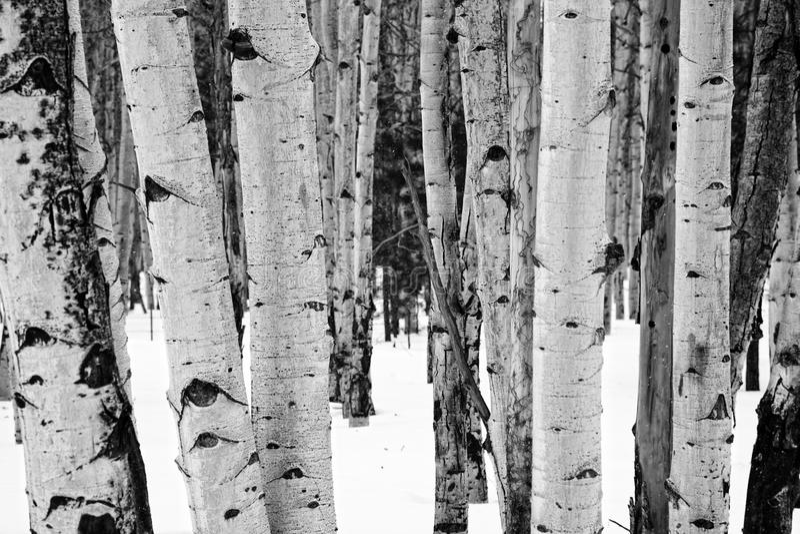 Alberi dell'Aspen immagini stock libere da diritti