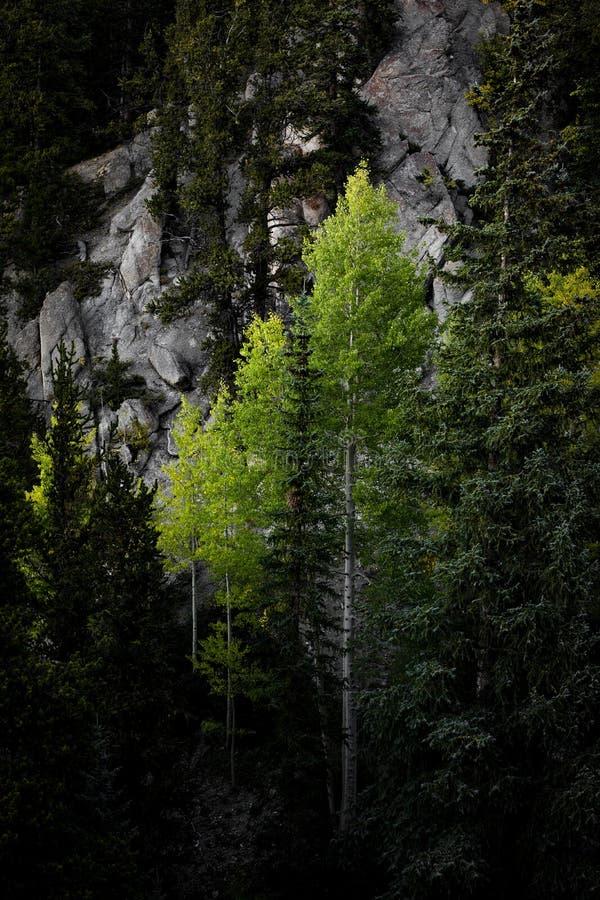 Alberi dell'Aspen in foresta fotografia stock libera da diritti