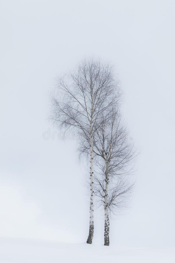 Alberi dell'Aspen in inverno fotografia stock