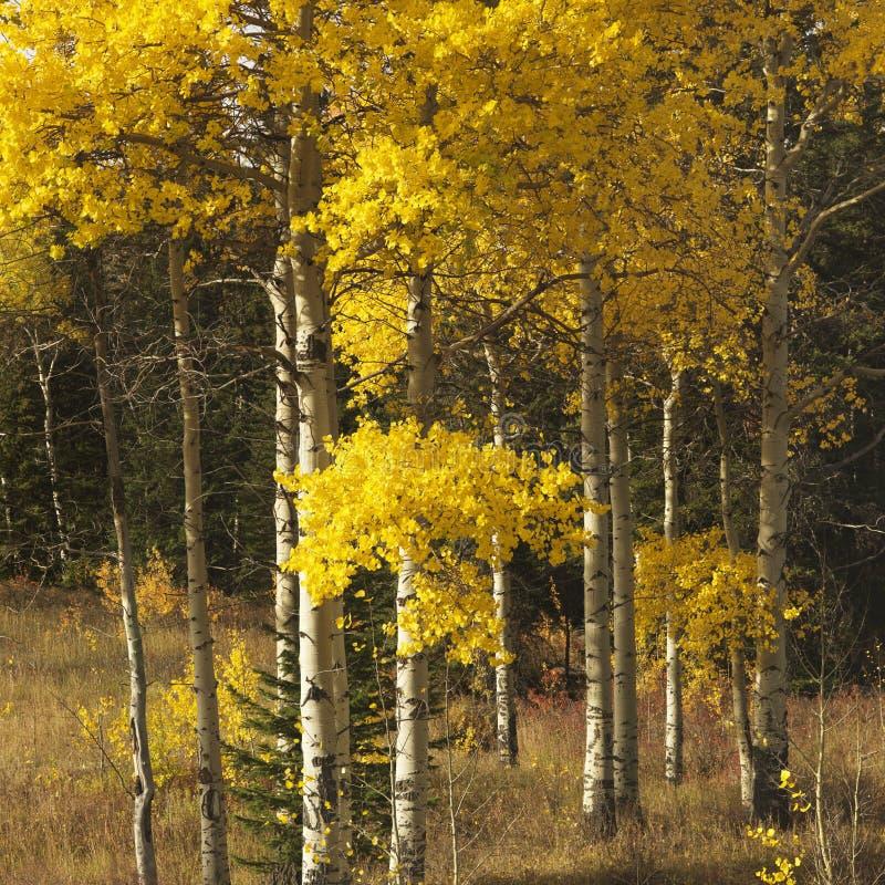 Alberi dell'Aspen nel colore di caduta nel Wyoming. immagini stock