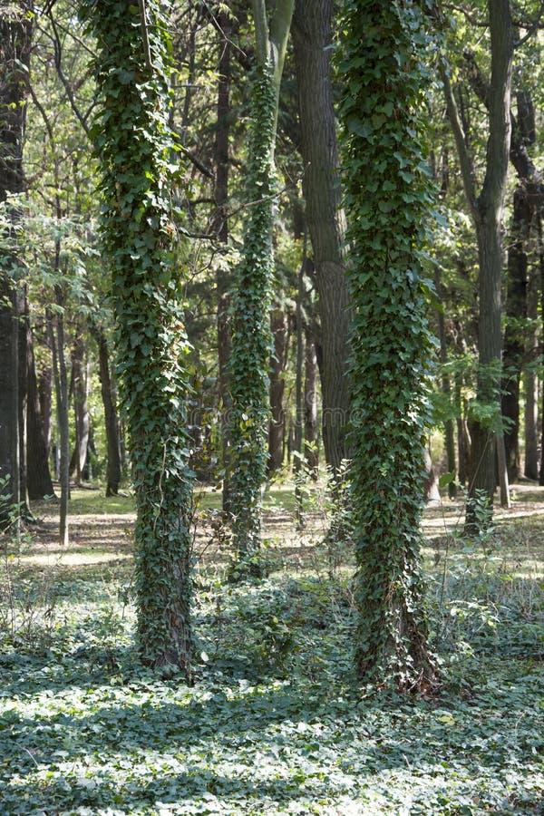 Alberi dell'edera e della foresta nella foresta immagine stock