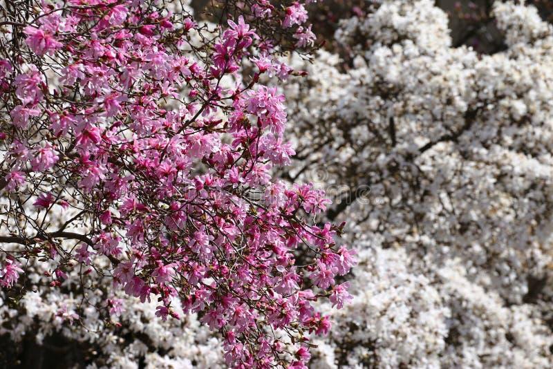 Alberi della magnolia fotografie stock libere da diritti