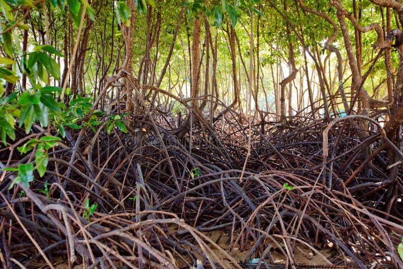 Alberi della mangrovia fotografie stock