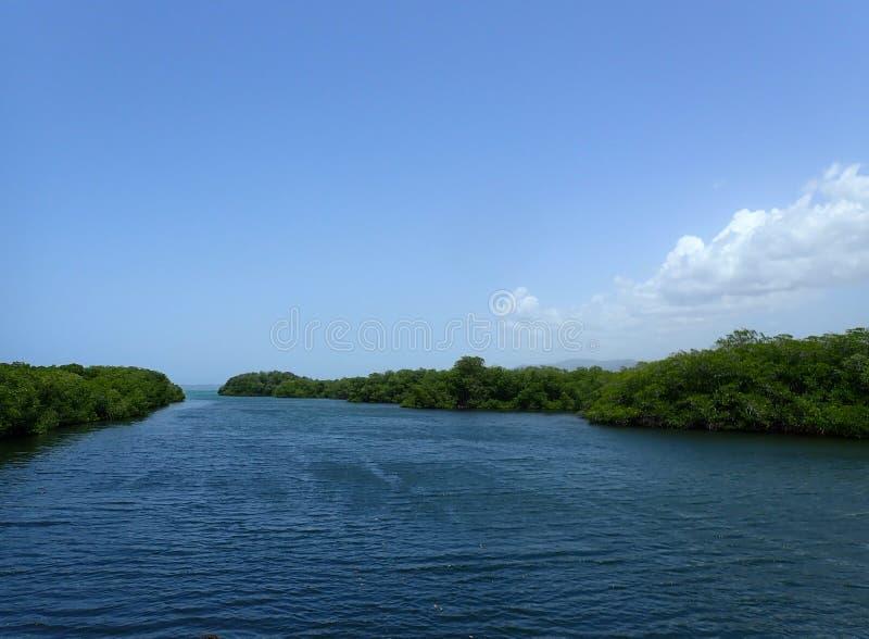Alberi della mangrovia in acqua dell'oceano immagine stock