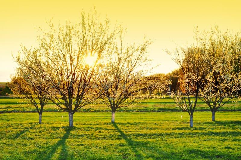 Alberi della molla della natura in fioritura fotografia stock libera da diritti