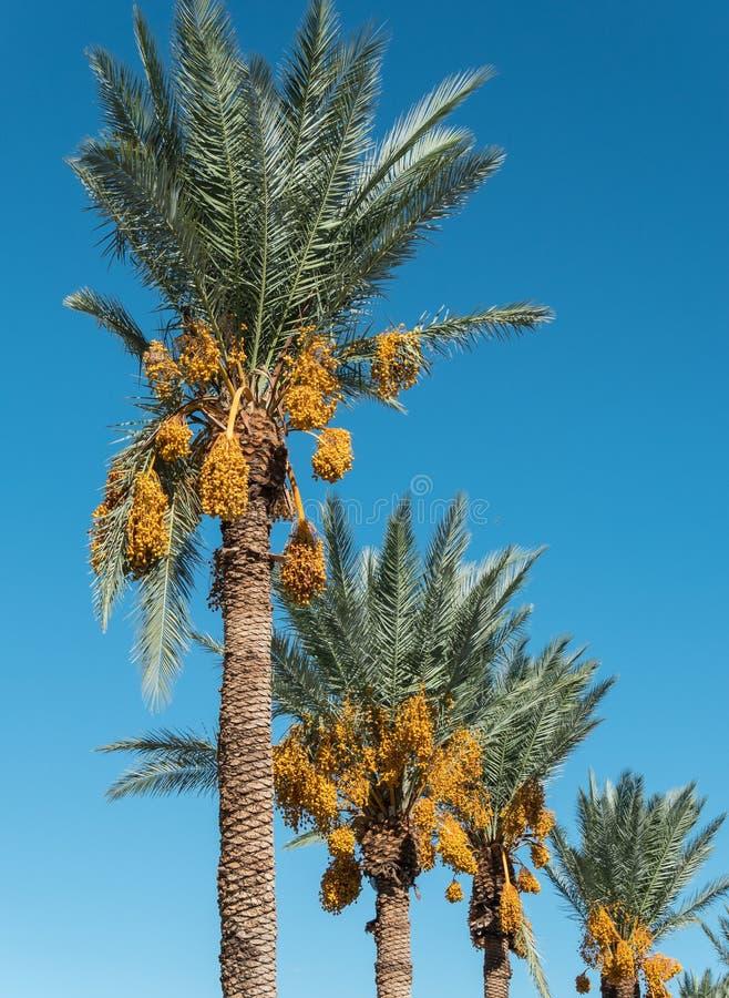 Alberi della palma da datteri immagine stock