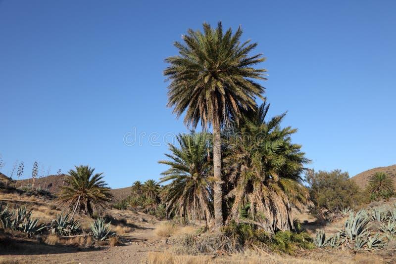 Alberi della palma da datteri immagini stock libere da diritti