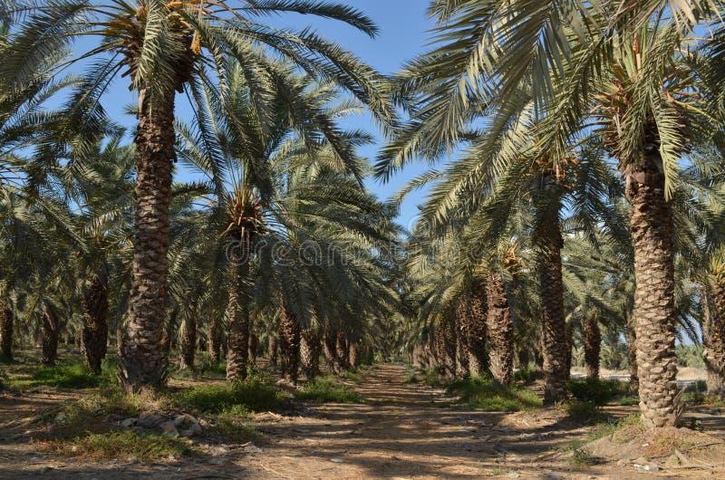 Alberi della palma da datteri fotografie stock