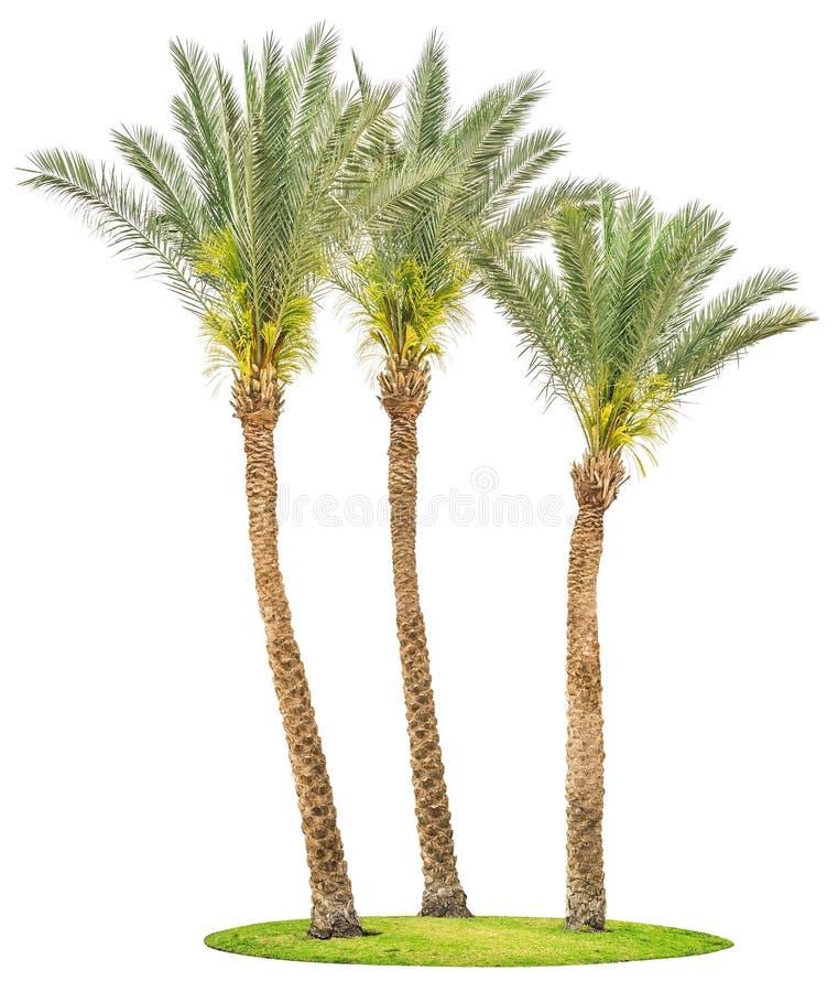 Alberi della palma da datteri su erba verde isolata immagini stock