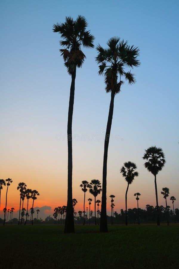 Alberi della palma da zucchero fotografia stock