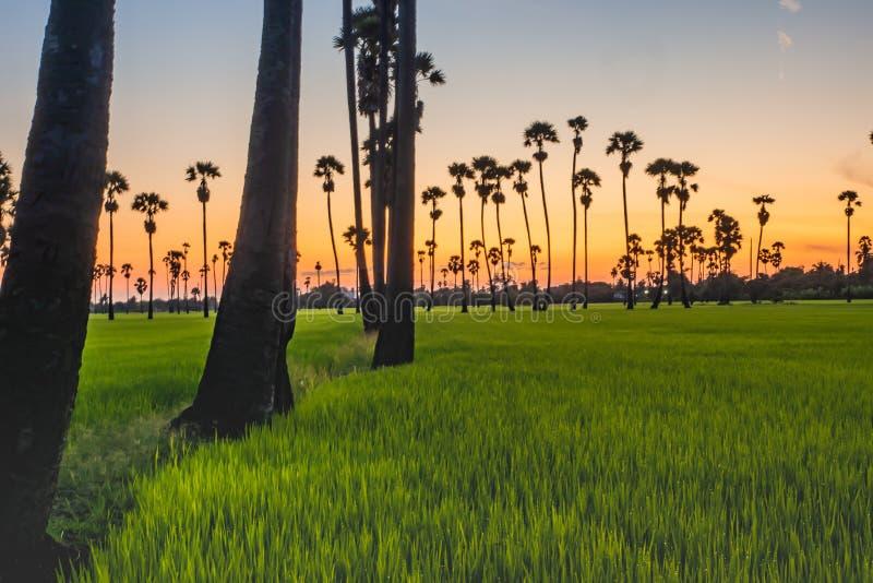 Alberi della palma da zucchero del paesaggio e giacimento del riso con il tramonto fotografia stock